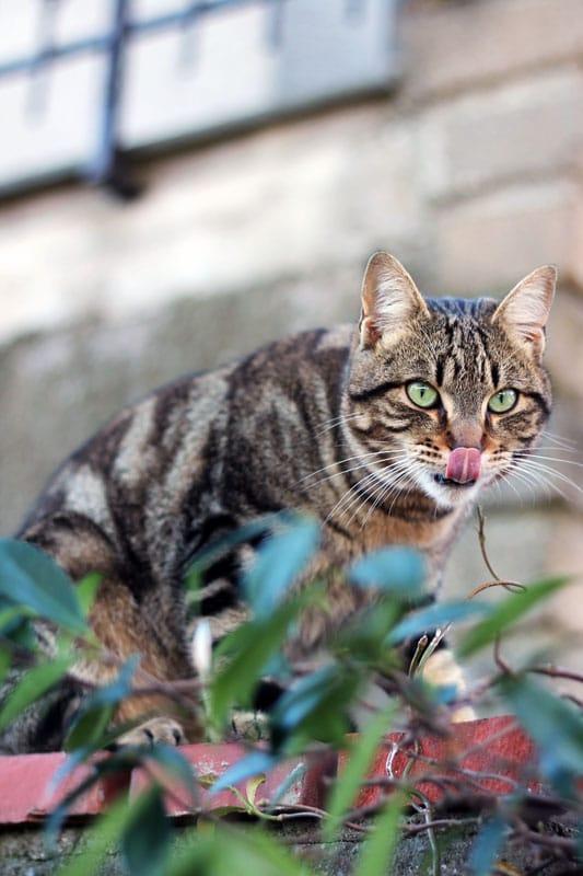 gatto che si lecca i baffi